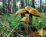 Де і коли збирати гриби