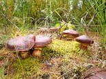 Де і коли збирати гриби: маслюки