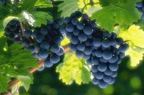 Користь винограду для здоров`я